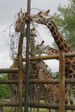 Giraffes at a Safari Park Stock Photo