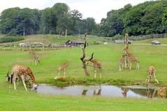Giraffes Safari Park Royalty Free Stock Photo