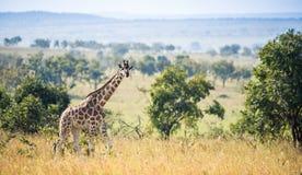 The giraffes on savanna.  Africa. Rothschild Giraffes  (Giraffa camelopardalis) Royalty Free Stock Images