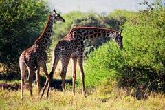 Giraffes on savanna eating. Safari in Serengeti, Tanzania, Africa Royalty Free Stock Images
