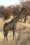Giraffes in the savannah of Namibia Royalty Free Stock Photography