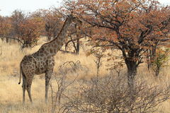 Giraffes in the savannah of Namibia Royalty Free Stock Photo