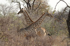 Giraffes in the savannah of Namibia Stock Image