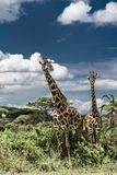 Giraffes in savannah, Serengeti national park. Africa royalty free stock images