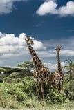 Giraffes in savannah, Serengeti national park. Africa Royalty Free Stock Images