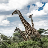 Giraffes in savannah, Serengeti national park. Africa stock photography