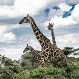 Giraffes in savannah, Serengeti national park. Africa Stock Photography