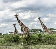 Giraffes in savannah, Serengeti national park. Africa stock image