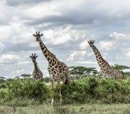 Giraffes in savannah, Serengeti national park. Africa Stock Image
