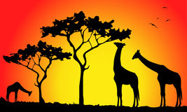 Giraffes  in the savannah Stock Photo