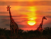 Giraffes in the savannah at sunset Royalty Free Stock Photo