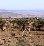 Giraffes seen on safari in the NgoroNgoro Conservation Area near Arusha, Tanzania Royalty Free Stock Images