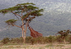 Giraffes in the Serengeti National Park. The Serengeti hosts the largest terrestrial mammal migration in the world. Tanzania, Africa Stock Photo