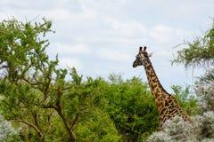 Giraffes in Serengeti Royalty Free Stock Photos