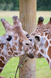 Giraffes Sharing Dinner. A closeup of two giraffes, face to face, sharing a tree branch for dinner Royalty Free Stock Photo