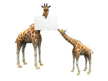 Giraffes with sign Stock Photos