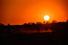 Giraffes silhouetted by a glorious sunset. Giraffes silhouetted by a glorious African sunset Stock Image