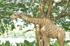 Giraffes in Singapore Zoo. Giraffes with long neck in Singapore Zoo is pictured while they are walking around the compound Stock Image