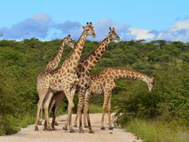Giraffes snack Royalty Free Stock Photo