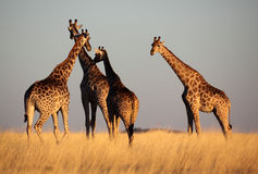 Giraffes in soft late-afternoon light, Namibia Royalty Free Stock Images