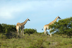 Giraffes in South Africa. Two active Giraffes - Kameelperd (Giraffa camelopardalis) standing in the grassland in a game park in South Africa Royalty Free Stock Images