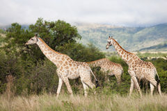 Giraffes in South Africa Stock Photography
