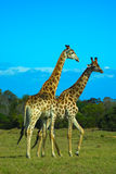 Giraffes South Africa. Two wild Giraffe bulls standing together in the savanna in South Africa Stock Photography