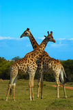 Giraffes South Africa. Two wild Giraffe bulls standing together and watching the savanna in South Africa Royalty Free Stock Photography