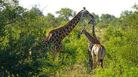 Giraffes in South Africa. Giraffes in the Kruger National Park in South Africa Royalty Free Stock Photography