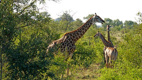 Giraffes in South Africa Royalty Free Stock Photography