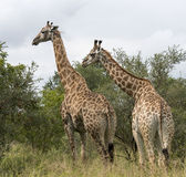 Giraffes in south africa. Two giraffes in south africa on safari national kruger park Royalty Free Stock Photo