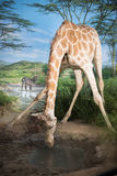 Giraffes in South Africa Stock Images