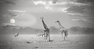 Giraffes standing on the African plains at sunset Royalty Free Stock Image