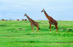 Giraffes standing in African savannah. On safari. Royalty Free Stock Image