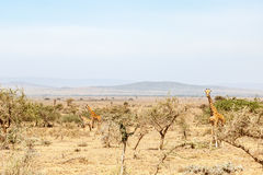 Giraffes standing among the bushes in the dry savanna Stock Photo