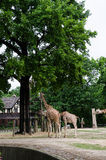 Giraffes standing in their yard at zoo Stock Images