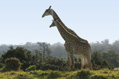Giraffes standing together. Two tall giraffes standing together next to some bushes stock photo