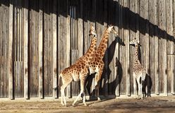 Giraffes at sun. In a zoo Stock Image