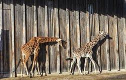 Giraffes at sun Stock Images