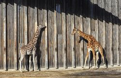 Giraffes at sun Stock Photo