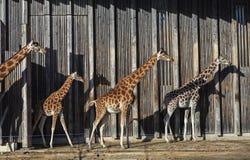 Giraffes at sun Royalty Free Stock Image
