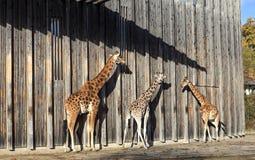 Giraffes at sun Stock Photos