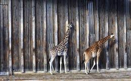 Giraffes at sun Royalty Free Stock Photography