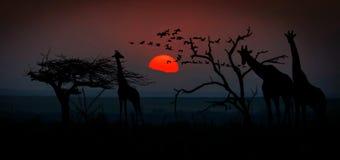 Giraffes at sunset Stock Image