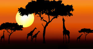 Giraffes in sunset. Giraffes and acacia trees silhouette during sunset Royalty Free Stock Photography