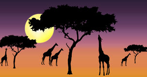 Giraffes in sunset. Giraffes and acacia trees silhouette in purple coloured sunset Royalty Free Stock Photo