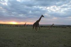 Giraffes at sunset in the wild maasai mara Stock Photos