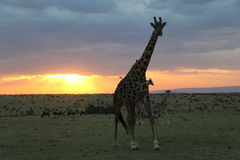 Giraffes at sunset in the wild maasai mara Royalty Free Stock Images