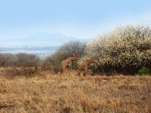 Giraffes sur la savane Photos stock