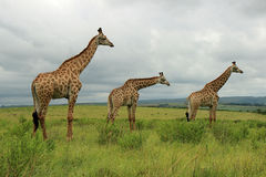 Giraffes in Tala Game Reserve, South Africa. Three Giraffes in Tala Game Reserve in South Africa stock photos
